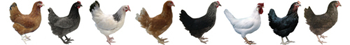 Different breeds of pullet